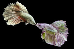 Two fighting fish, betta on black background. Royalty Free Stock Photography
