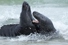 Two fighting grey seals. In the water Royalty Free Stock Image