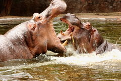 Two fighting hippopotamus Royalty Free Stock Images