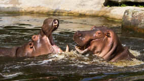 Two fighting hippos (Hippopotamus amphibius) Stock Photo