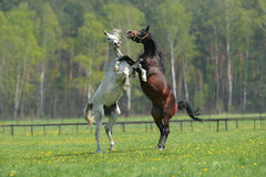 Two fighting horses. Spring power pasture stock images