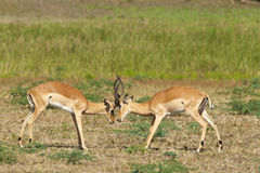 Two fighting impalas. Two male impalas fight for dominance Stock Image