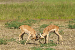 Two fighting impalas. Two male impalas fight for dominance Royalty Free Stock Photography