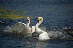 Two  fighting macho swans Royalty Free Stock Photos