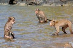 Two fighting monkeys. Two monkeys fighting in the water stock photo