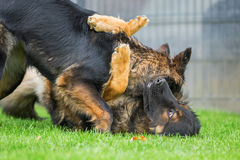 Two fighting old German Shepherd dogs Stock Images