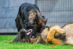 Two fighting old German Shepherd dogs Royalty Free Stock Photography