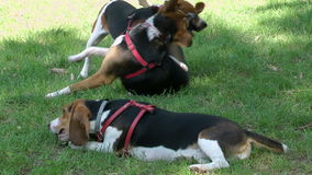 Two are fighting and playing one beagle. A dog plays in the park stock video footage