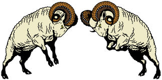 Two fighting rams Stock Images