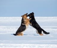 Two fighting sheep-dogs Stock Image