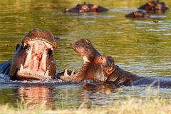 Two fighting young male hippopotamus Hippopotamus Stock Image