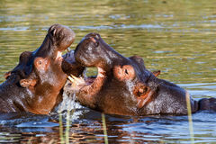 Two fighting young male hippopotamus Hippopotamus Stock Photos