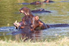 Two fighting young male hippopotamus Hippopotamus Royalty Free Stock Photos