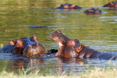 Two fighting young male hippopotamus Hippopotamus Royalty Free Stock Image