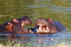 Two fighting young male hippopotamus Hippopotamus Royalty Free Stock Image
