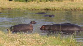 Two fighting young male hippopotamus Hippopotamus. Two young male hippopotamus Hippopotamus amphibius, rehearse fray and figting with open mouth and showing tusk stock video
