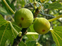 Two figs on a fig tree stock image