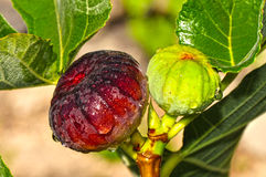 Green and Purple Figs Royalty Free Stock Images