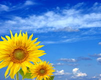 Two fine sunflowers against the blue sky Royalty Free Stock Images