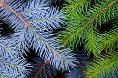 Two fir branches background Royalty Free Stock Image