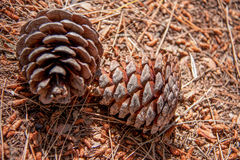 Two fir cones on the ground in the forest Stock Images