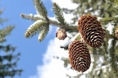 Two fir cones on the winter sky Royalty Free Stock Photos