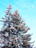 Two fir trees in frost Stock Photo