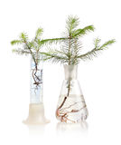 Two fir trees on white background Stock Images