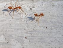 Two fire ants with shadow walking and follow the other to work on white vintage background Royalty Free Stock Photo