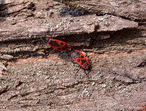 Two fire bugs on bark Royalty Free Stock Photography