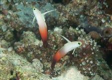 Two fire dartfish Nemateleotris magnifica synchronized swimming above corals of Bali stock photo