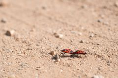Two firebug in a love affair. Close view stock photos
