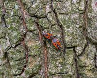 Firebug on the bark of the lime tree. Firebugs generally mate in April and May. Their diet consists primarily of seeds. Two firebugs on the bark of the lime tree Stock Image
