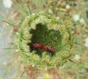 Two Firebugs Mating Royalty Free Stock Photo