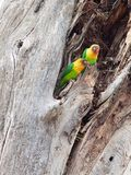 Two Fischer`s lovebirds in a tree trunk Royalty Free Stock Photos
