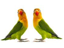 Two fischeri lovebird. Parrot on a white background Royalty Free Stock Photos