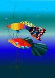 Two fish. Guppies swim against the algae Stock Image