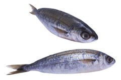 Two fish bogue. With white background stock image