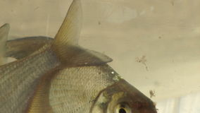 Two Fish In a Bowl, Swimming stock footage