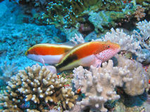 Two fish gurding terytorie. Two fish gurding territory, next to hard coral, mushroom coral, fire coral in background Royalty Free Stock Photos