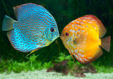 Two fish kissing Stock Images