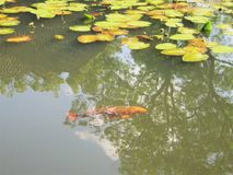 Two fish in a lake royalty free stock photography