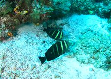 Two fish - Pacific sailfin tang. Two Pacific sailfin tangs, Zebrasoma veliferum - fishes swimming above sandy bottom of sea by coral reef in Raja Ampat, Papua royalty free stock photography