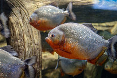 Two fish piranha. Swimming in a large aquarium Royalty Free Stock Photo