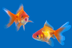 Two fish red Stock Photos