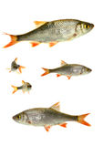 Two fish roach, Royalty Free Stock Photos