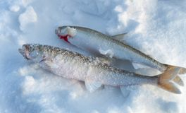 Two Fish Smelt lying in the snow. Stock Photo