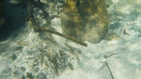Two fish swimming near dead mangrove roots stock video footage