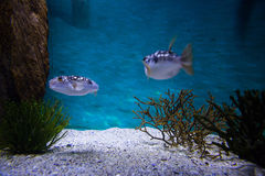 Two fish swimming in a tank Stock Photo