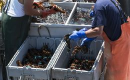 Two fishermen sorting fresh lobster on their boat. Two fishermen in main are sorting the fresh lobsters that they caught in to seperate bins by size just before stock image